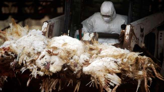 Ilustrasi Flu Burung