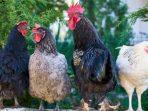 Ayam Hidup